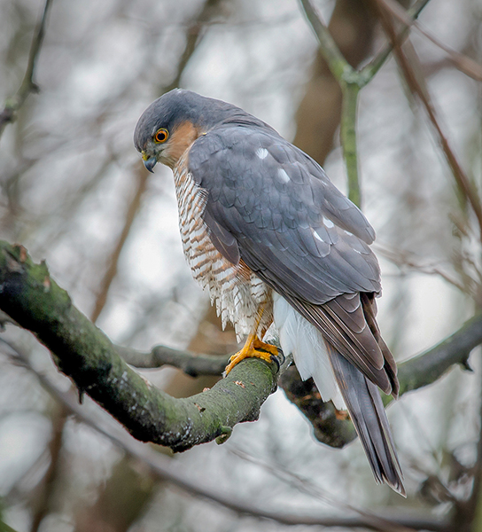 Sparrowhawk looking for lunch