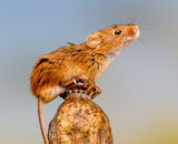 1st Place: Autumnal Harvest Mice - 1