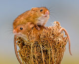 1st Place: Autumnal Harvest Mice - 2