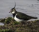 Commended: Shoreline Lapwing
