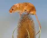 1st Place: Autumnal Harvest Mice - 3