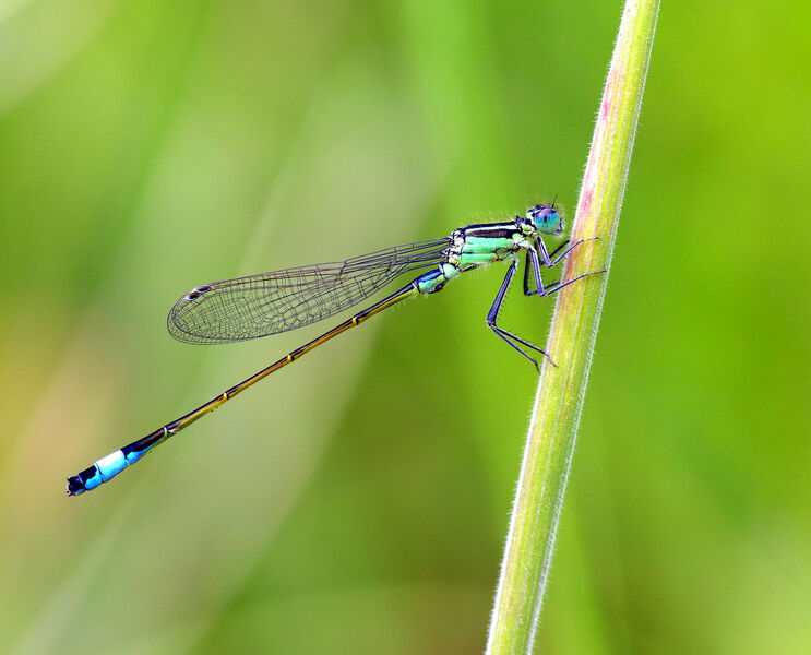 Highly Commended: Blue Tailed Damselfly