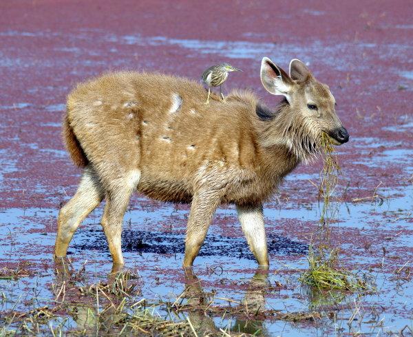 2nd Place - Sambar Deer and Indian Pond Heron