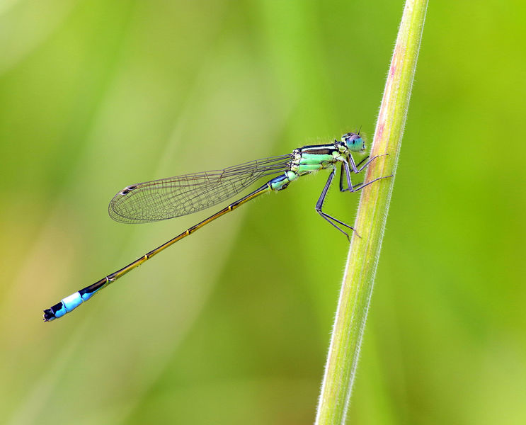 3rd Place - Blue Tailed Damselfly
