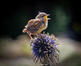 Commended: Fledgling Wren