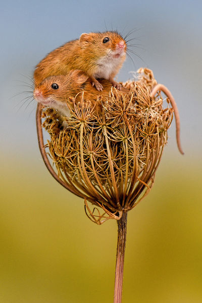 1st Place: Autumnal Harvest Mice - 2