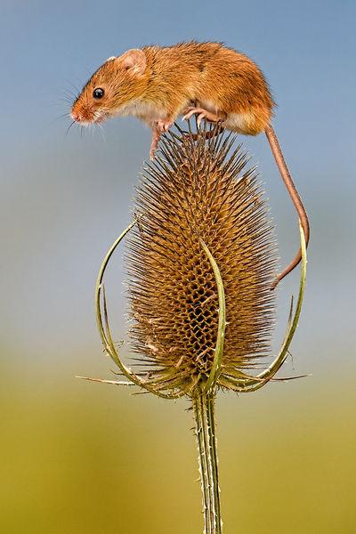1st Place: Autumnal Harvest Mice - 3