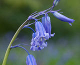 Highly Commended - Bluebell Detail