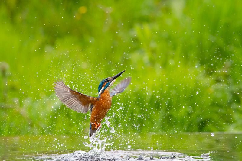 Commended: Kingfisher