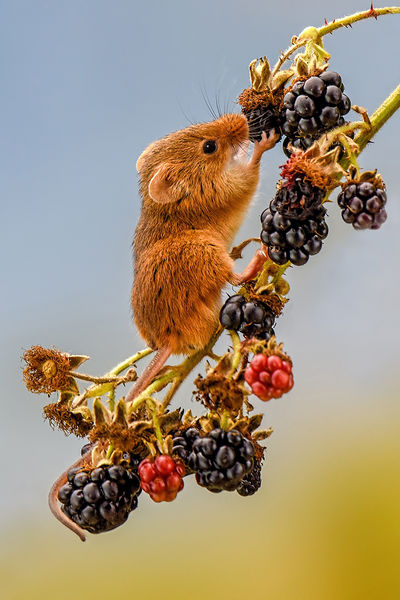 Highly Commended - Harvest Mouse on Blackberries