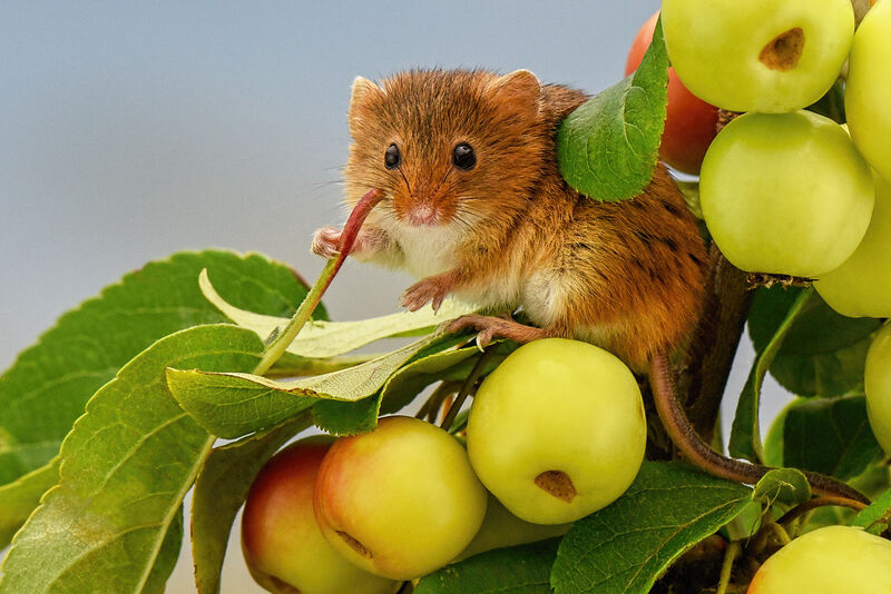 Highly Commended: Harvest Mouse on wild Crab Apple