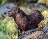 Commended: Otter