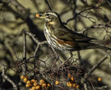 3rd Place - Redwing feeding on Rowan berries