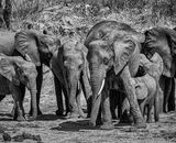 Commended: Elephants Kruger National Park