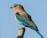 Commended: Indian Roller