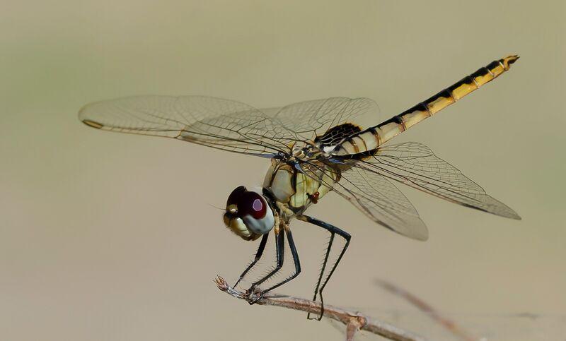 Commended: Darner Dragonfly