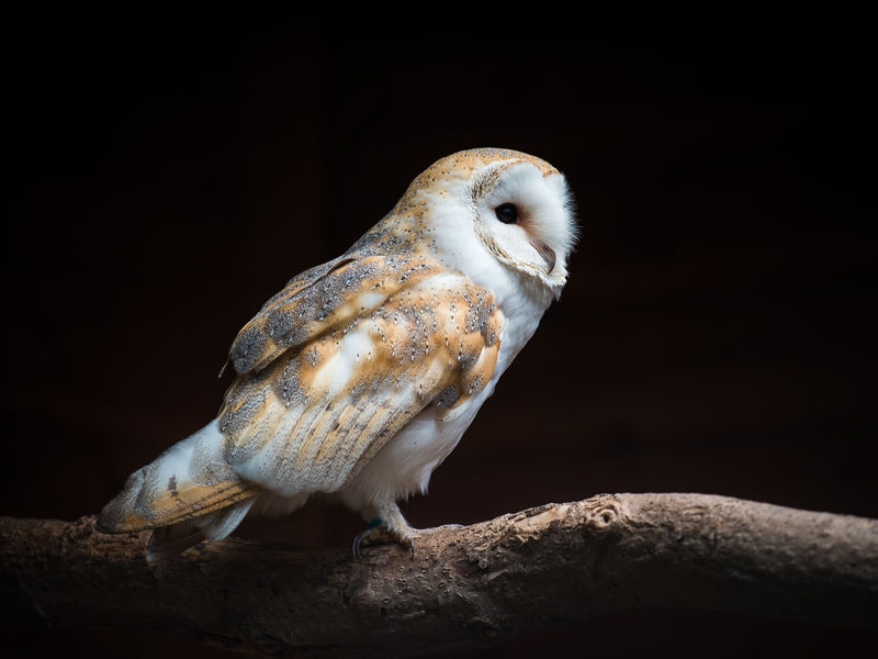 Highly Commended - Barn Owl