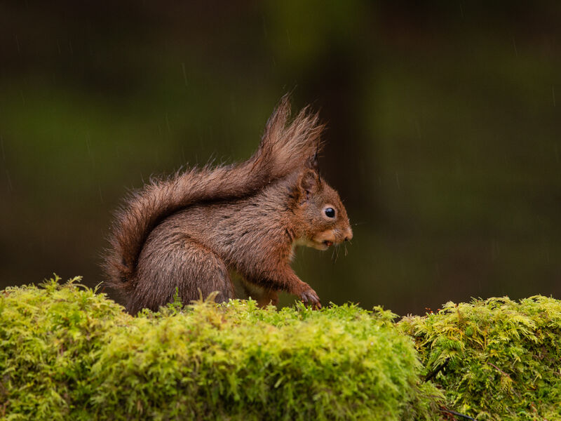 Highly Commended: Red Squirel in the Rain