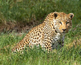 Commended: South African Leopard