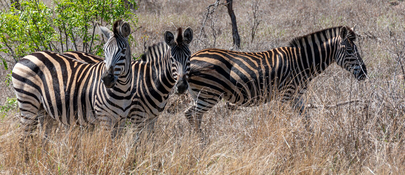 Commended: Zebra's Kruger SA