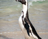 Commended: South African Jackass Penguin