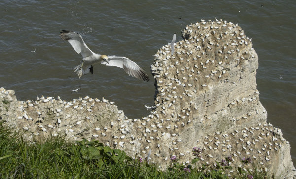 Highly Commended - Gannets Home