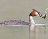 Commended: Great Crested Grebe with Perch