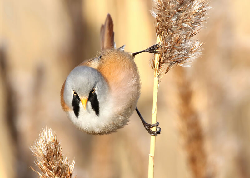 Highly Commended: Male Bearded Tit