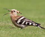 2nd Place: Hoopoe tossing Larva