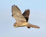 Highly Commended: Hovering Kestrel