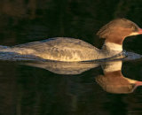 Commended - Merganser At Dawn