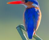 Commended: Malachite Kingfisher