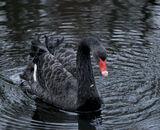 Commended: Black Swan