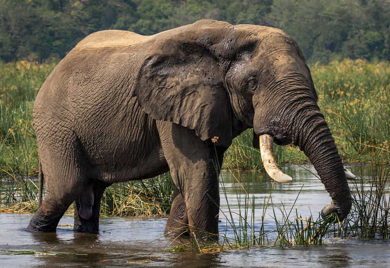 Highly Commended - Elephant Murchison Falls NP Uganda