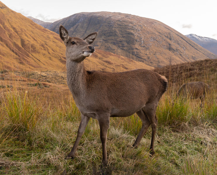 2nd Place - Female Red Deer