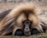 1st Place: Gelada Baboon Simien Mountains Ethiopia