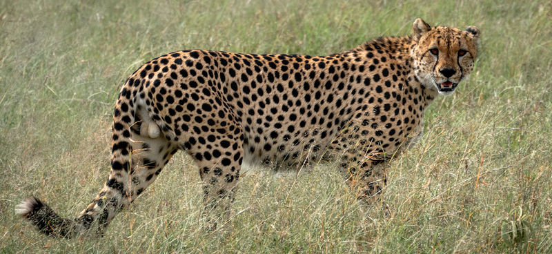 Highly Commended - Male Cheetah Maasai Mara NP Kenya