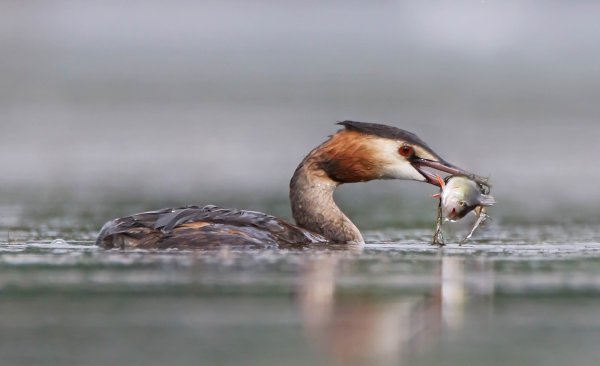 1st Place - Great Crested Grebe with Perch