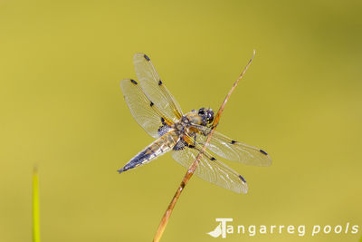 Male four-spot chaser