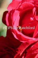 Red Rose/Ladybird
