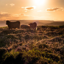 Cows on Higger Tor, Sunset