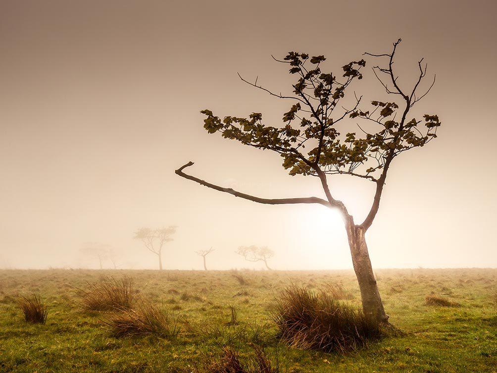 Misty Tree I
