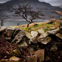 Llyn Peris Tree -Snowdonia