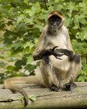 Spider Monkey 0921