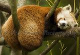 Red Panda 1150