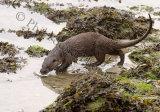 Otter 1755