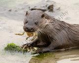 Otter 1842