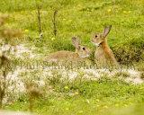Rabbits 2729