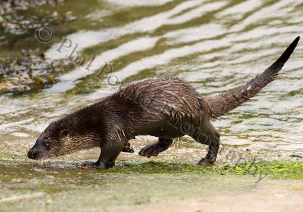 Otter 2978