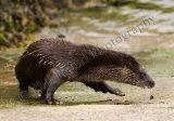 Otter 2985